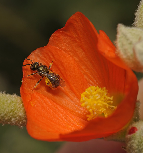Lasioglossum sp, March