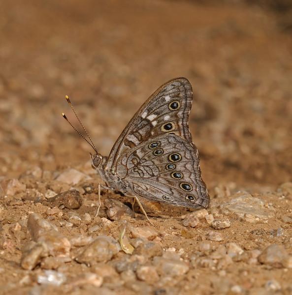 Empress Leilia - Asterocampa leilia, October