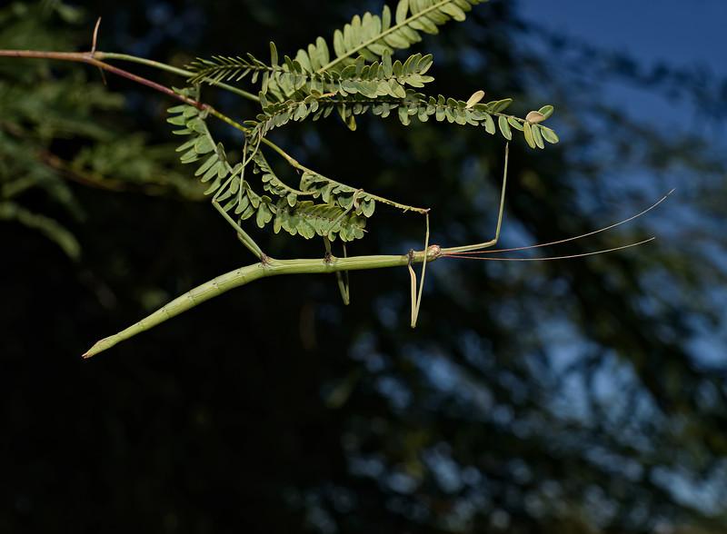 Diapheromera arizonensis, October