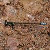 Rambur's Forktail - Ischnura ramburii, March