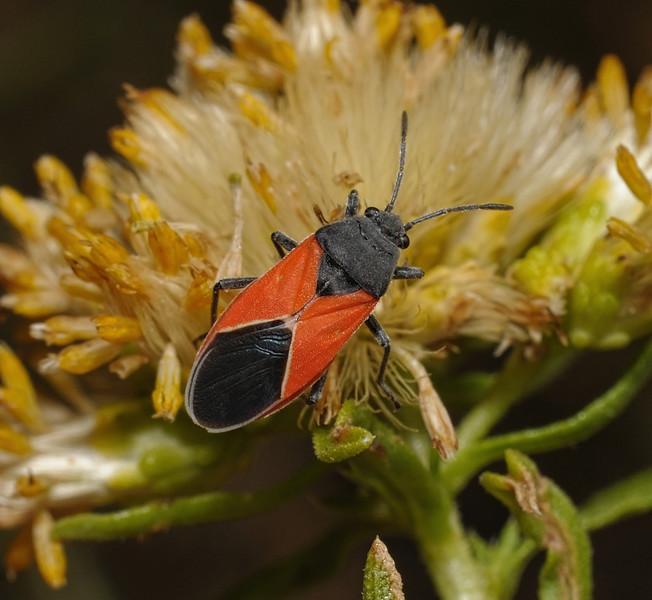 Melanopleurus belfragei, October