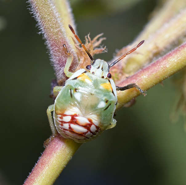 Thyanta sp nymph, April