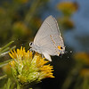 Gray Hairstreak - Strymon melinus, October