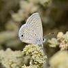 Ceraunus Blue - Hemiargus ceraunus, October