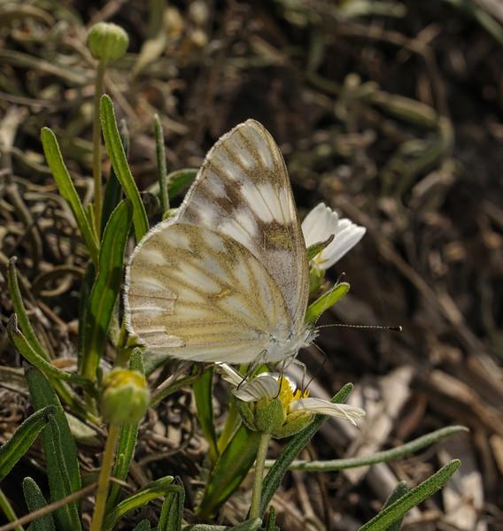 Checkered White - Pontia protodice, October