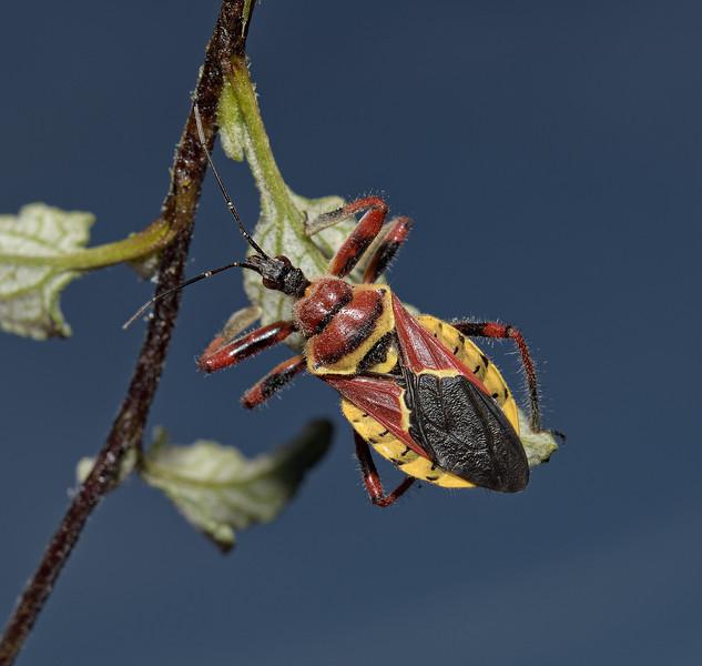 Apiomerus flaviventris, April