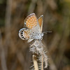 Western Pygmy Blue - Brephidium exilis, October