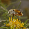 Bee Fly, October
