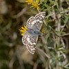 Checkered Skipper, Pyrgus sp, October