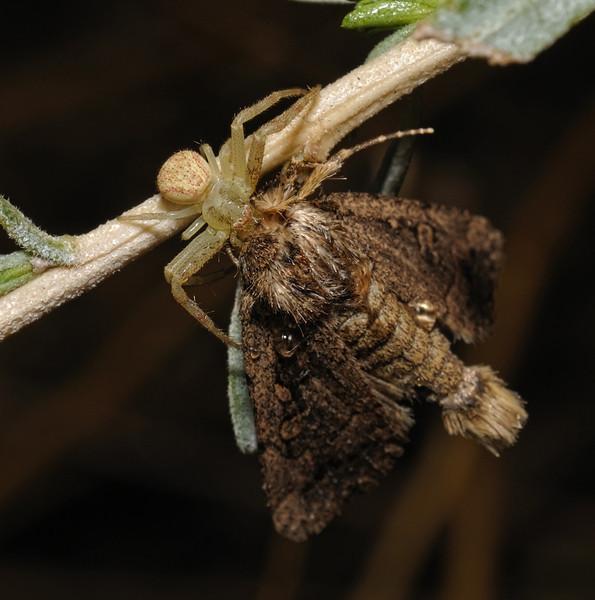 Misumenops sp and prey, October