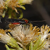 Braconid wasp, October