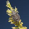 Brochymena sp, April
