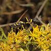 Sceliphron caementarium, October