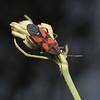 Oncopeltus sanguineolentus, April