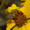 Agapostemon sp, March