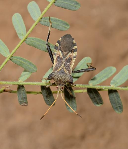 Mozena arizonensis, November