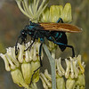 Tarantula Hawk - Pepsis sp, November