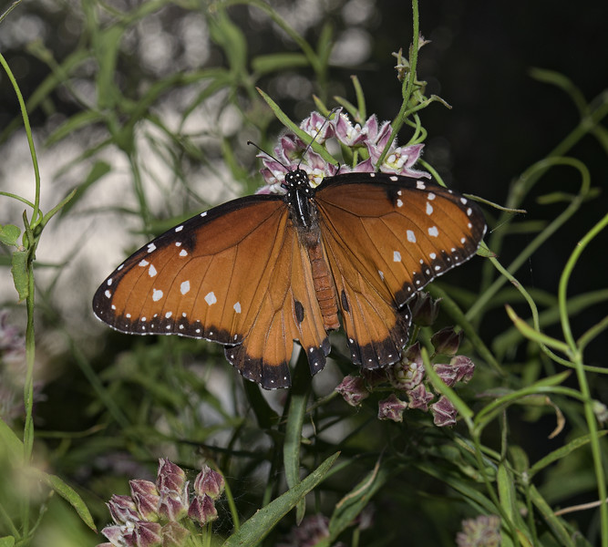 Queen - Danaus gilippus, April