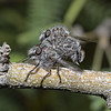 Robber fly pair, April