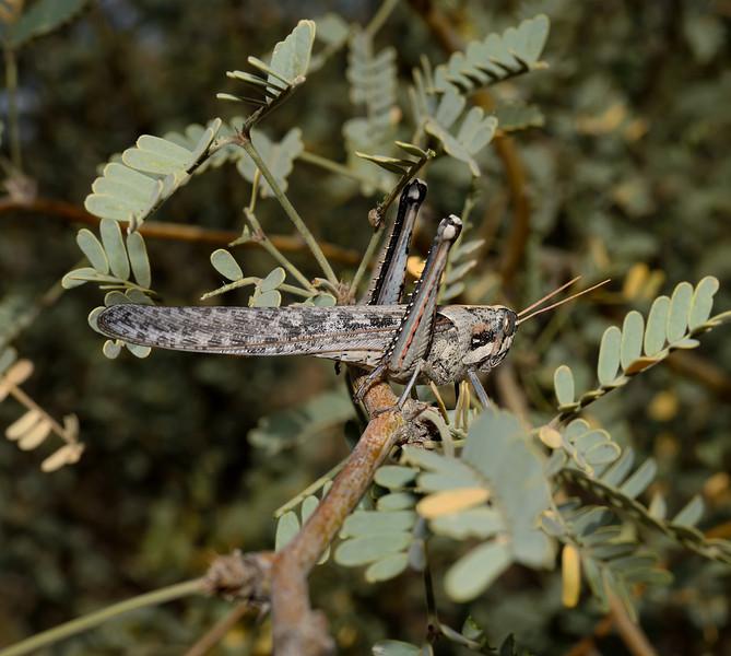 Gray Bird Grasshopper, Schistocerca nitens, October