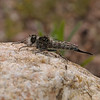 Robber fly female, March
