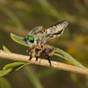 Robber Fly - Megaphorus sp with prey, October