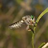 Robber Fly - Megaphorus sp, October