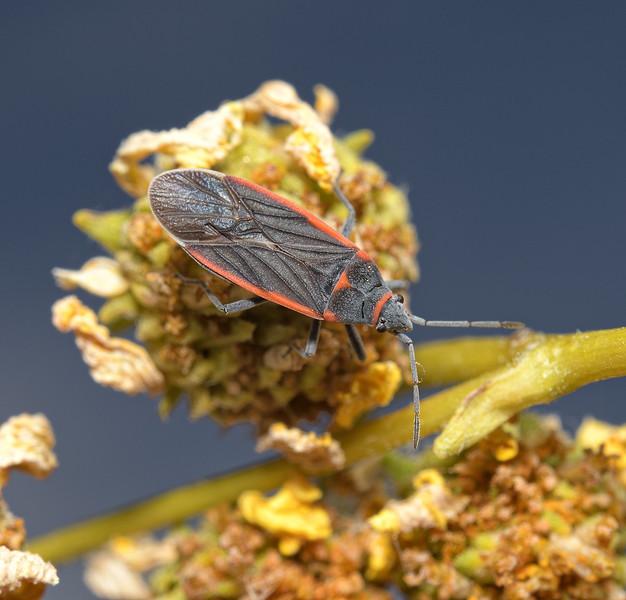 Melacoryphus lateralis, April
