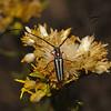 Sphaenothecus bivittata, October