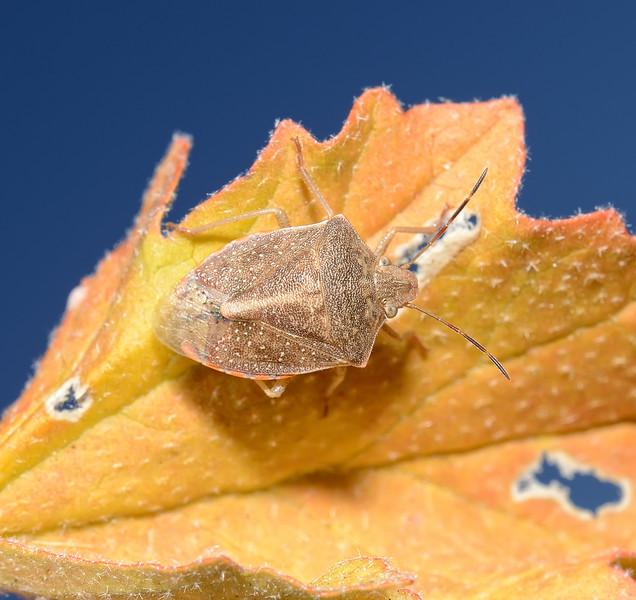 Thyanta sp, October