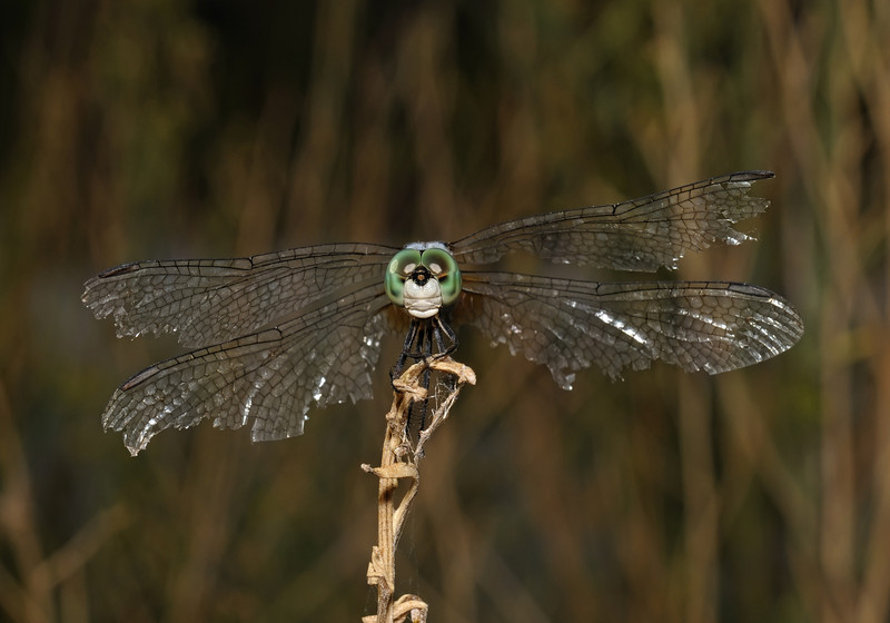 Blue Dasher - Pachydiplax longipennis, October