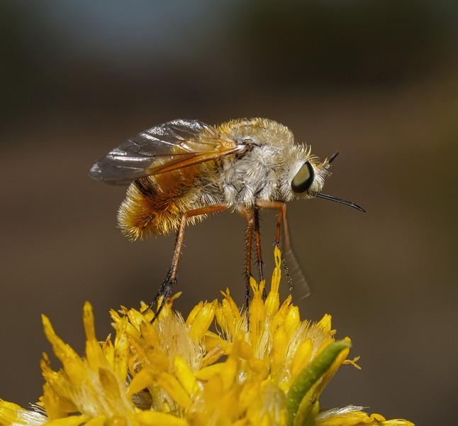 Heterostylum sp, October