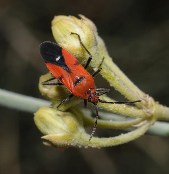 Oncopeltus sanguineolentus, November