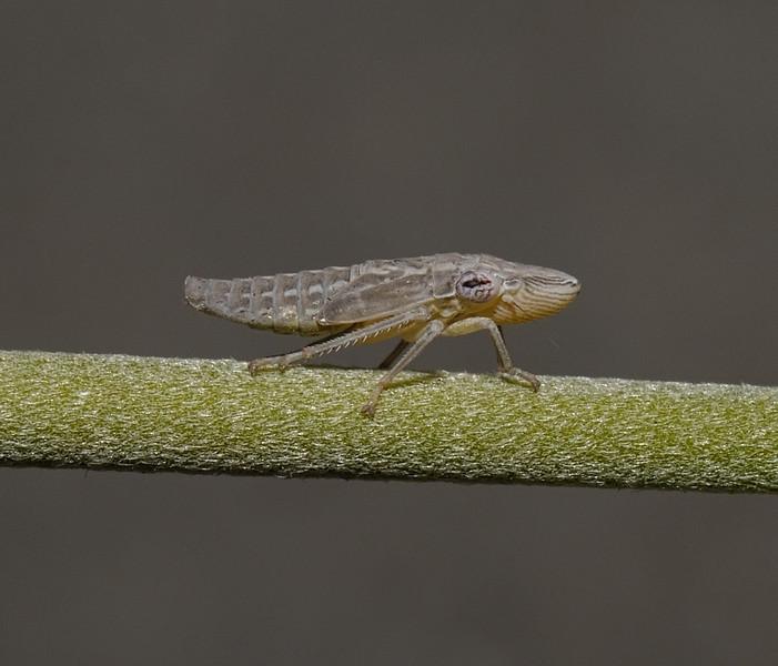 Homalodisca sp nymph, October