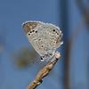 Reakirt's Blue - Echinargus isola, November