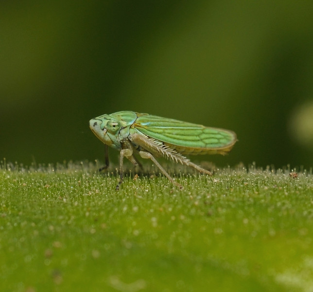 Graphocephala sp, March