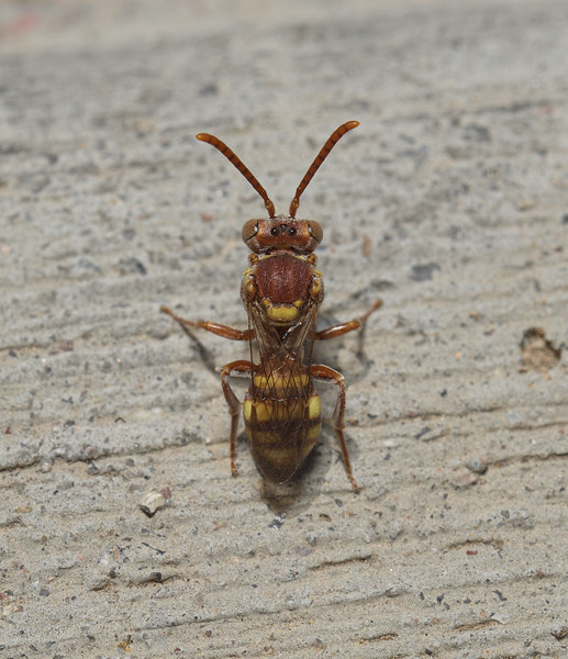 Nomada sp, April