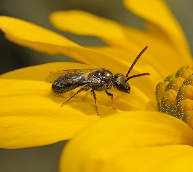 Lasioglossum sp male, March