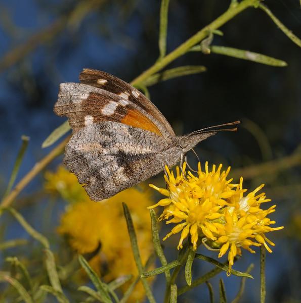American Snout - Libytheana carinenta, October