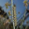 Monarch - Danaus plexippus, November