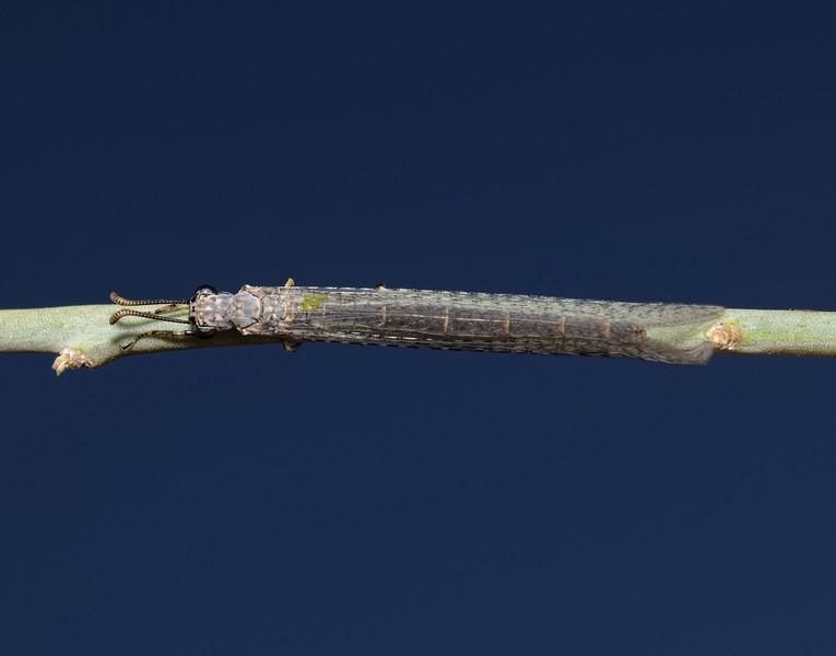 Antlion - Myrmeleon sp, October