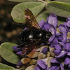 Xylocopa sp, March