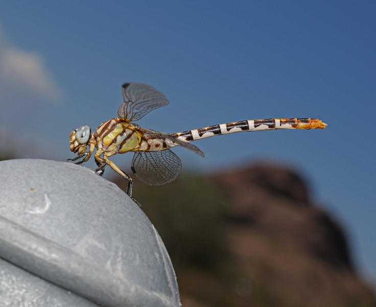 White-belted Ringtail - Erpetogomphus compositus female, October