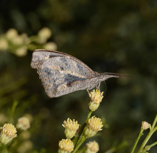 American Snout - Libytheana carinenta, November