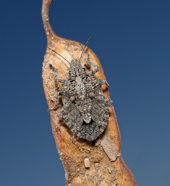 Brochymena sp, October