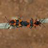 Oncopeltus fasciatus pair, October