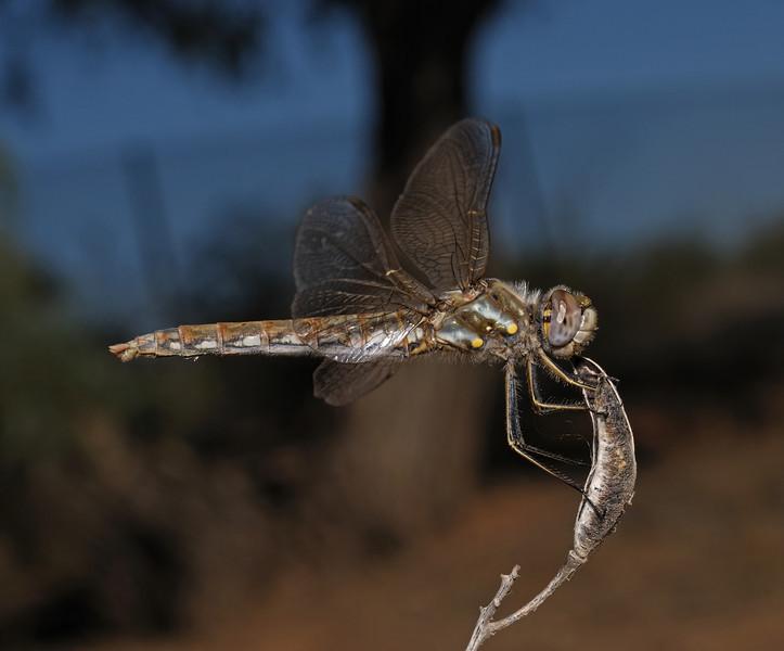 Variegated Meadowhawk - Sympetrum corruptum female, October