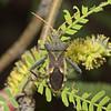 Mozena arizonensis, April