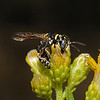 Philanthus gibbosus, October