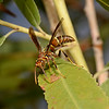 Polistes arizonensis, November